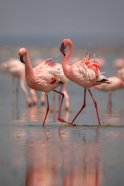 Lesser Flamingo (Phoenicopterus minor) pair displaying in dominance fight, Amboseli National Park, Kenya