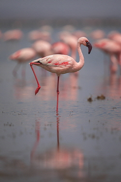 Lesser Flamingo (Phoenicopterus minor), Amboseli National Park, Kenya