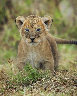 African Lion (Panthera leo) cub, Masai Mara, Kenya