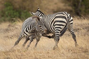 Zebra (Equus quagga) males fighting, Masai Mara, Kenya