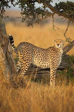 Cheetah (Acinonyx jubatus) female scent-marking, Masai Mara, Kenya