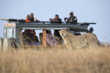 Cheetah (Acinonyx jubatus) male and tourists, Masai Mara, Kenya