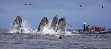 Humpback Whale (Megaptera novaeangliae) pod gulp feeding on Northern Anchovy (Engraulis mordax) near tourists, Monterey Bay, California