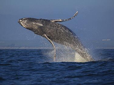 Humpback Whale (Megaptera novaeangliae) calf breaching, Monterey Bay, California