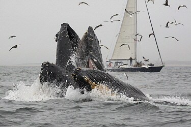 Humpback Whale (Megaptera novaeangliae) pod gulp feeding on Northern Anchovy (Engraulis mordax) near sailboat, Monterey Bay, California