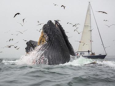 Humpback Whale (Megaptera novaeangliae) pair gulp feeding on Northern Anchovy (Engraulis mordax) near sailboat, Monterey Bay, California