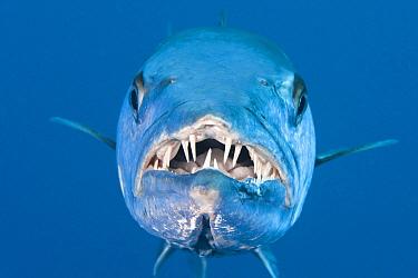Great Barracuda (Sphyraena barracuda), Great Barrier Reef, Australia