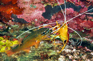 Scarlet Cleaner Shrimp (Lysmata amboinensis) cleaning mouth of Goldbelly Cardinalfish (Apogon apogonides), Tulamben, Bali, Indonesia