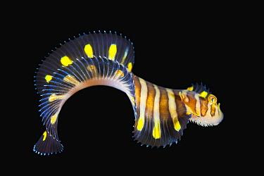 Sole (Zebrias sp) juvenile, Anilao, Philippines