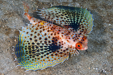 Oriental Flying Gurnard (Dactyloptena orientalis) with pectoral fins extended in defense posture, Anilao, Philippines