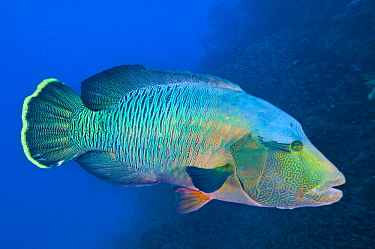 Double-headed Maori Wrasse (Cheilinus undulatus), Great Barrier Reef, Queensland, Australia