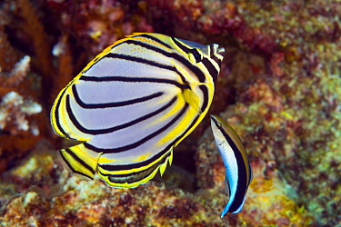 Meyer's Butterflyfish (Chaetodon meyeri) being cleaned by Blue-streaked Cleaner Wrasse (Labroides dimidiatus), Great Barrier Reef, Queensland, Australia
