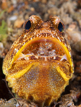 Variegated Jawfish (Opistognathus solorensis) male brooding eggs in mouth, Anilao, Philippines