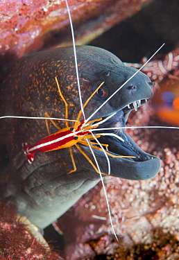 Scarlet Cleaner Shrimp (Lysmata amboinensis) cleaning Yellow-edged Moray (Gymnothorax flavimarginatus), Tulamben, Bali, Indonesia