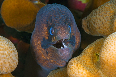 Blackcheek Moray (Gymnothorax breedeni), Christmas Island, Australia