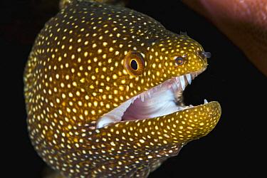 Whitemouth Moray (Gymnothorax meleagris), Christmas Island, Australia