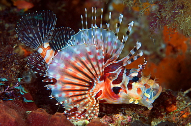 Zebra Lionfish (Dendrochirus zebra), Great Barrier Reef, Australia