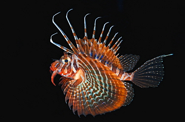 Blackfoot Firefish (Parapterois heterurus) at night, Anilao, Philippines