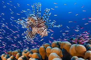 Common Lionfish (Pterois volitans) hunting Basslets (Pseudanthias sp), Christmas Island, Australia