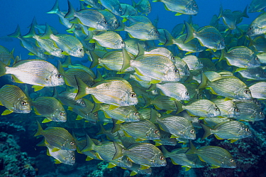 Goldlined Seabream (Rhabdosargus sarba) school, Solitary Islands Marine Park, New South Wales, Australia