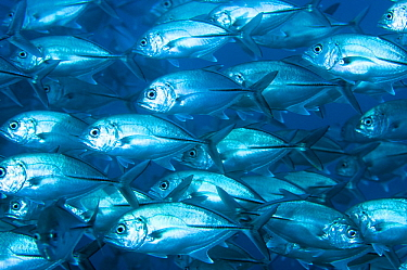 Bigeye Trevally (Caranx sexfasciatus) school, Great Barrier Reef, Australia