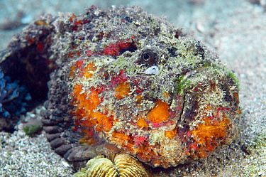 Reef Stonefish (Synanceia verrucosa), Great Barrier Reef, Australia