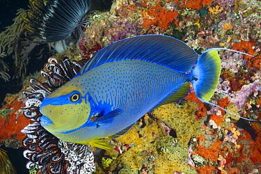 Unicornfish (Naso vlamingii), Papua New Guinea