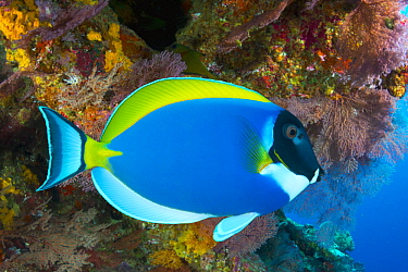 Powderblue Surgeonfish (Acanthurus leucosternon), Christmas Island, Australia