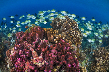 Convict Surgeonfish (Acanthurus triostegus) school, Christmas Island, Australia