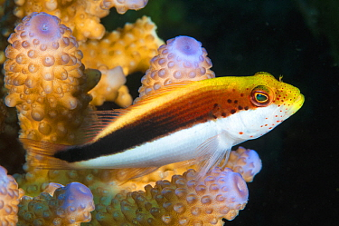 Freckled Hawkfish (Paracirrhites forsteri), Great Barrier Reef, Australia