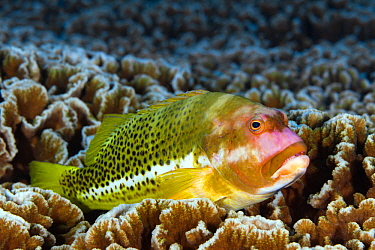 Whitespot Hawkfish (Paracirrhites hemistictus), Christmas Island, Australia