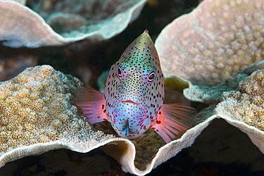 Freckled Hawkfish (Paracirrhites forsteri), Christmas Island, Australia