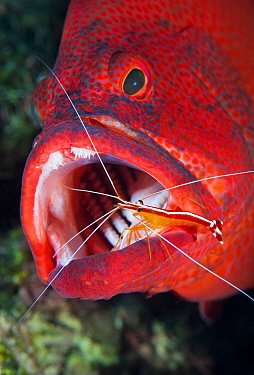 Scarlet Cleaner Shrimp (Lysmata amboinensis) cleaning mouth of Tomato Grouper (Cephalopholis sonnerati), Great Barrier Reef, Australia