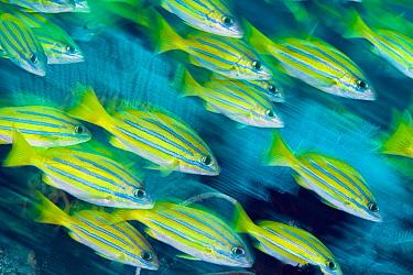 Bluestripe Snapper (Lutjanus kasmira) school, Great Barrier Reef, Australia