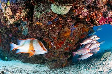 Yellow-banded Snapper (Lutjanus adetii) and Emperor Red Snapper (Lutjanus sebae), Heron Island, Great Barrier Reef, Queensland, Australia