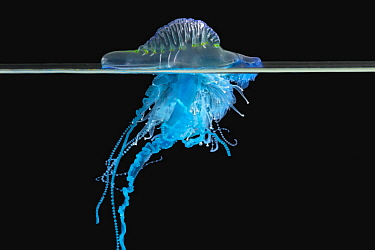 Portuguese Man Of War (Physalia physalis) jellyfish, Coffs Harbor, Solitary Islands Marine Park, New South Wales, Australia