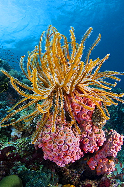 Feather Star (Oxycomanthus sp) in coral reef, Great Barrier Reef, Queensland, Australia
