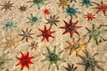 Carpet Sea Star (Patiriella calcar) group, Australia