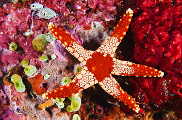 Candy Cane Sea Star (Fromia monilis), Anilao, Philippines