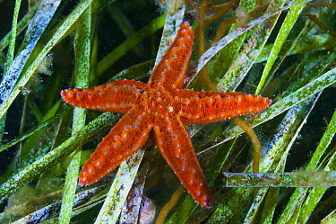 Starfish (Uniophora granifera) on seagrass, Yorke Peninsula, South Australia, Australia