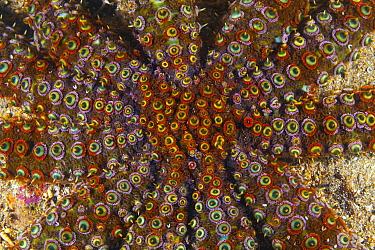Sea Star (Coscinasterias muricata), Yorke Peninsula, South Australia, Australia
