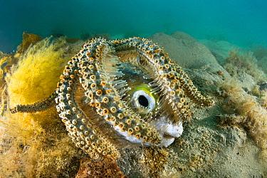 Sea Star (Coscinasterias muricata) feeding on Porcupinefish (Diodon nicthemerus) carcass, Port Phillip Bay, Mornington Peninsula, Victoria, Australia