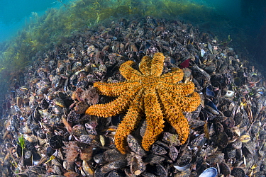Sea Star (Coscinasterias muricata) on mussels, Port Phillip Bay, Mornington Peninsula, Victoria, Australia