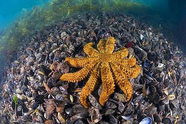 Sea Star (Coscinasterias muricata) on mussels, Port Phillip Bay, Mornington Peninsula, Victoria, Australia