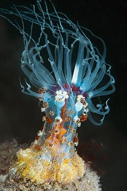 Sea Anemone (Alicia rhadina), Anilao, Philippines