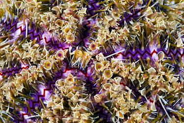 Sea Urchin (Toxopneustes pileolus) venomous spines, Anilao, Philippines