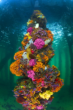 Piling with sponges, tunicates, and ascidians, Yorke Peninsula, South Australia, Australia