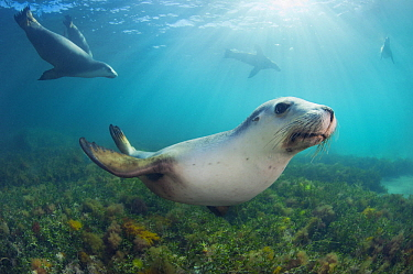 Australian Sea Lion (Neophoca cinerea) group, Hopkins Island, South Australia, Australia