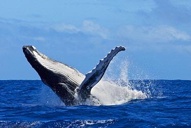 Humpback Whale (Megaptera novaeangliae) breaching, Tonga