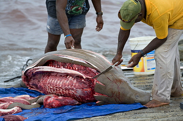 Dugong (Dugong dugon) caught legally and butchered by Torres Strait Islanders, Torres Strait, Northern Australia, Australia